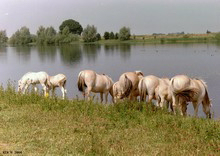 FotosRGES: th_Horses_drinking_from_lake_NL_2001-KIH