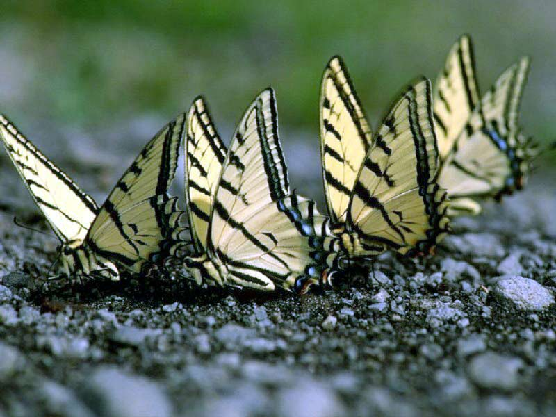 Four yellow butterflies on ground sideview