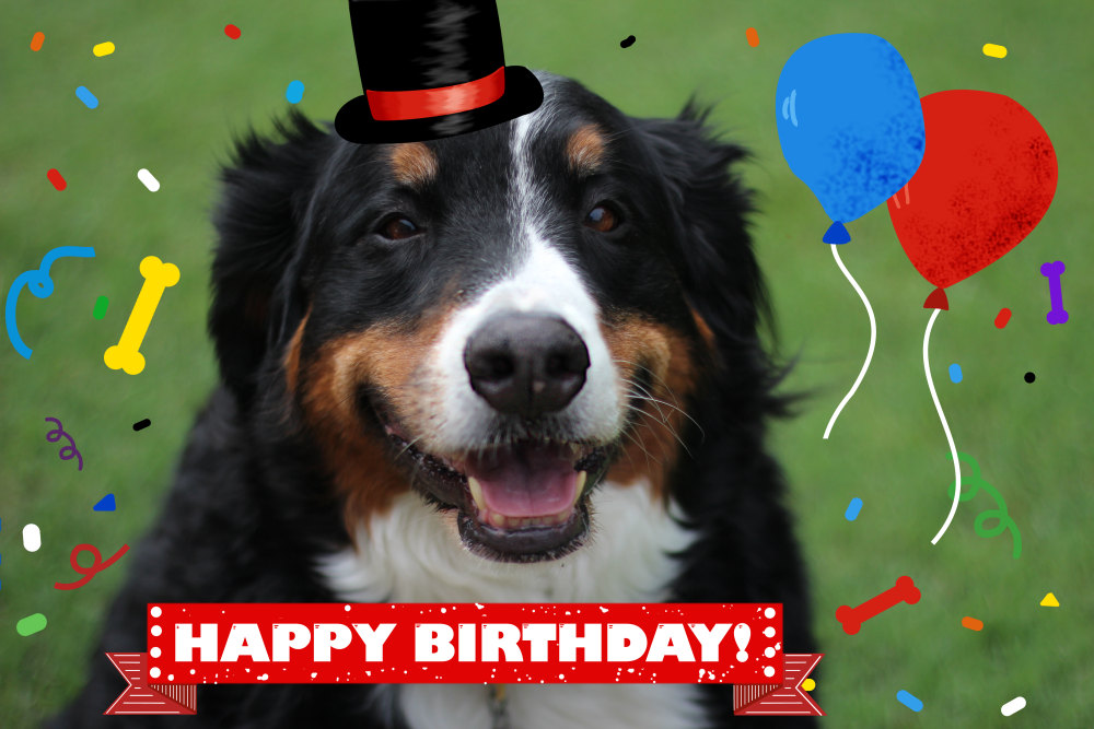 2b Full Scale Image Shown Of Berner Sennen Dog Says Happy Birthday