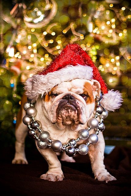 Bulldog with red Christmas hat