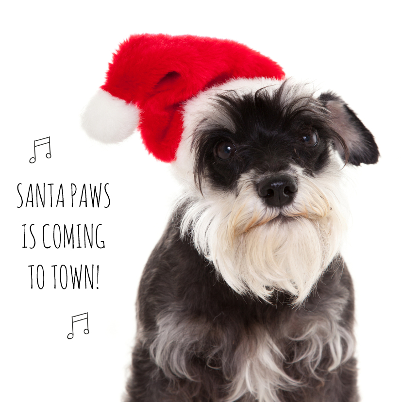 Schnauzer with red Christmas hat   Santa Paw is coming to town