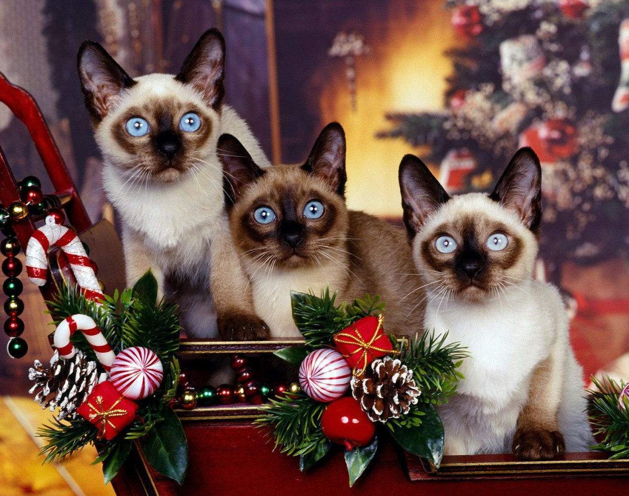 Three blue eyed Siamese Cats in Christmas scene