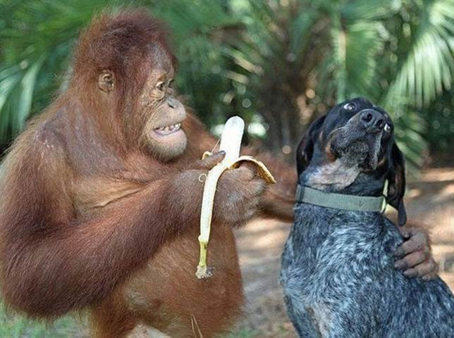 Orang Utang tries to feed a dog his banana