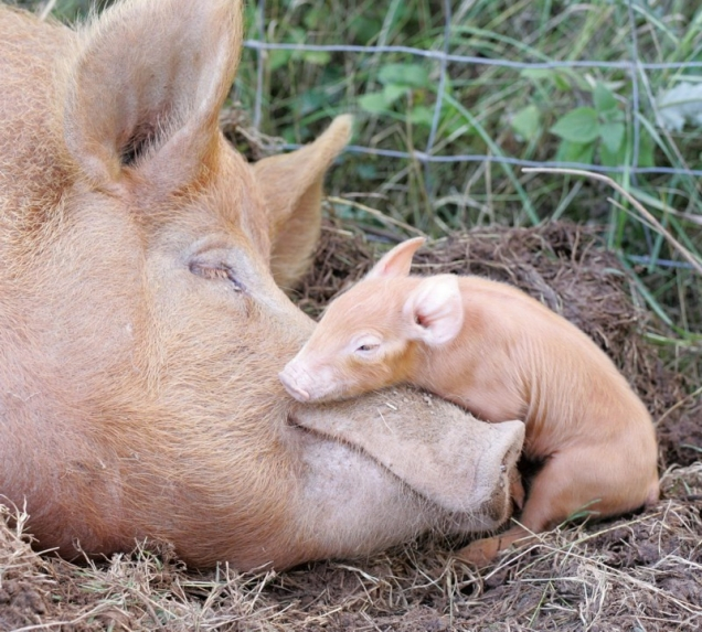 Baby pig with mama pig