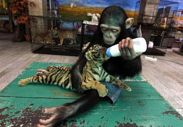 Chimpanzee weans tiger pup via bottle