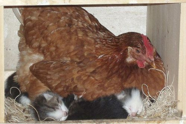 Hen breeding on kittens