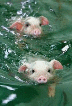 Two piglets swimming