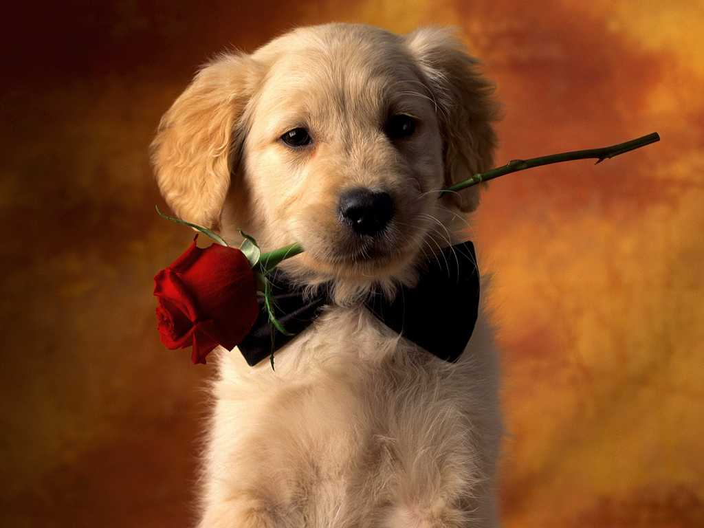 Valentine Puppy dog with rose