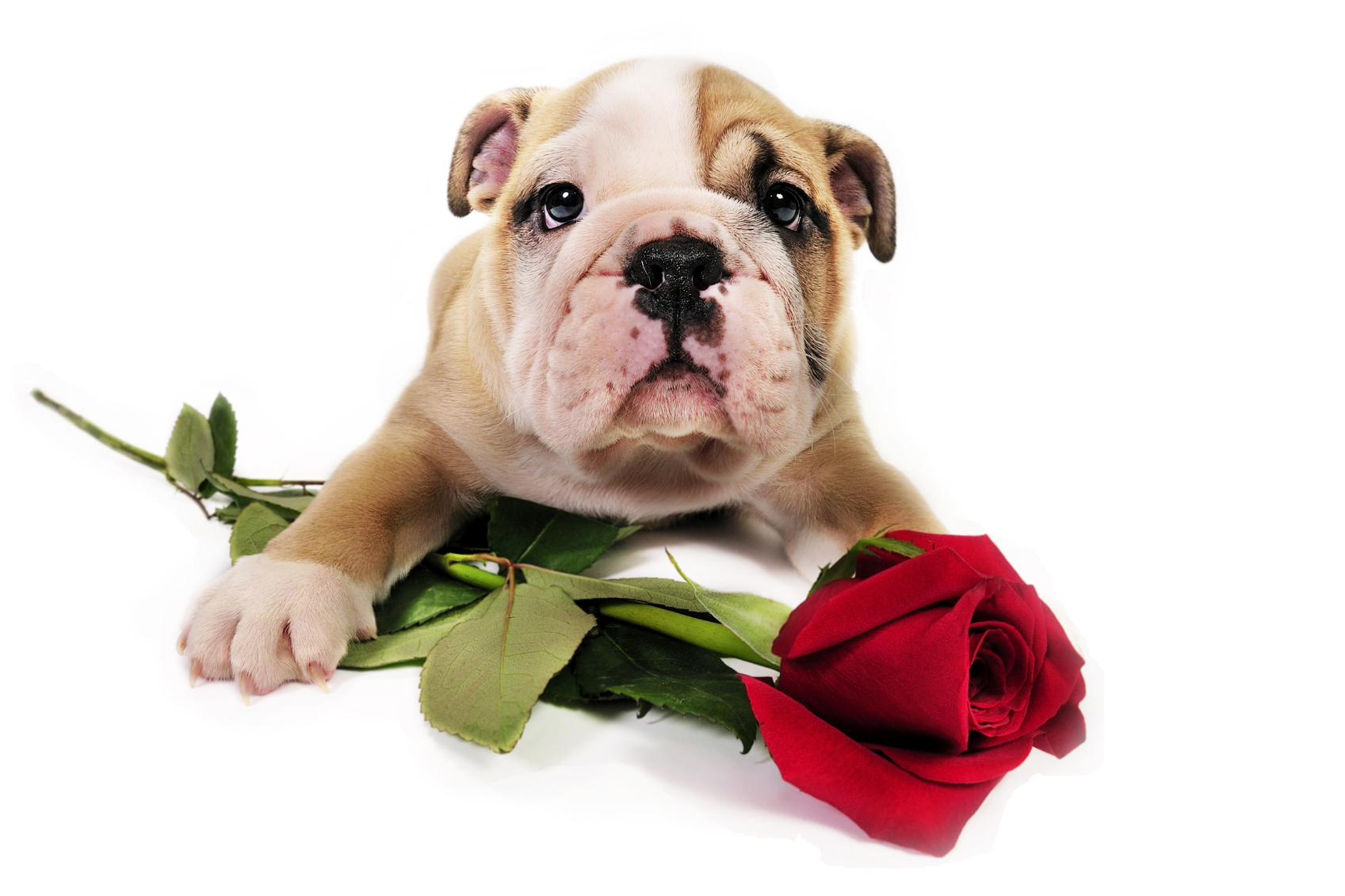 Valentine Puppy withrose