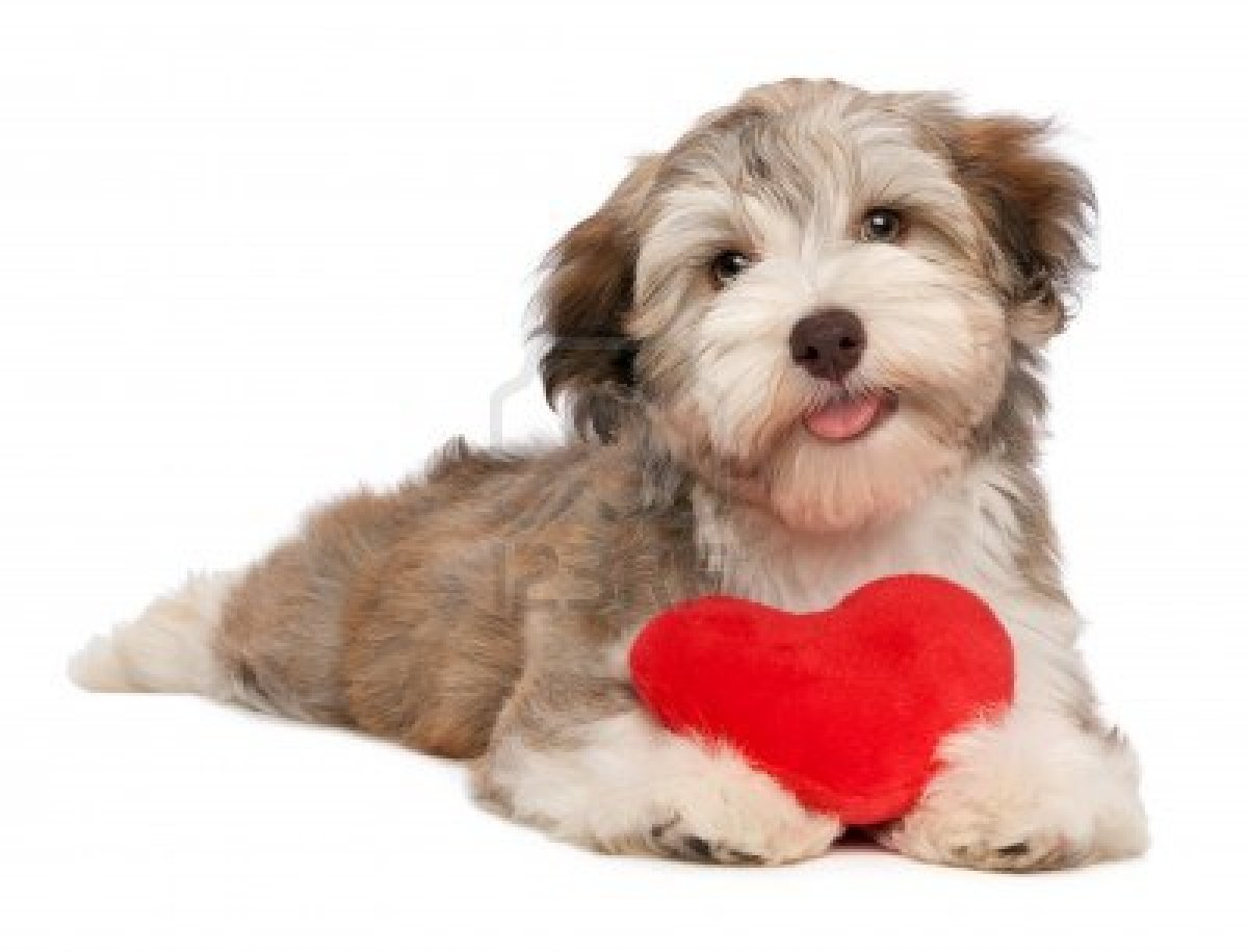 Valentine puppy dog with a red heart isolated on white background
