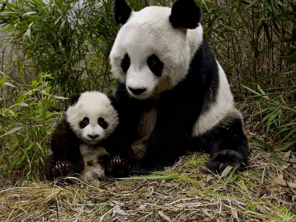 Mother Panda with young