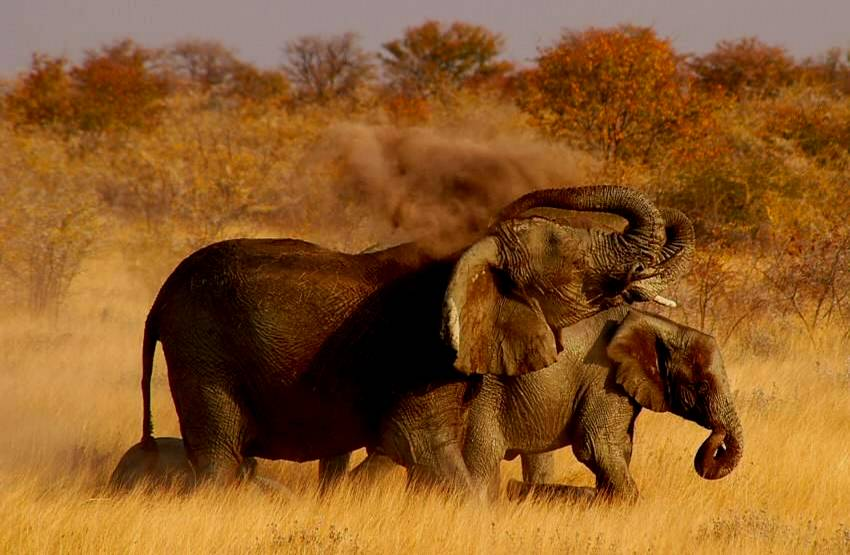 African Elephant spraying sand on back