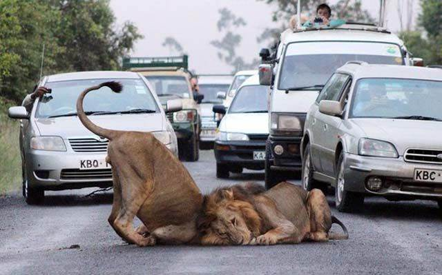 Two lions playing on road in safari parc