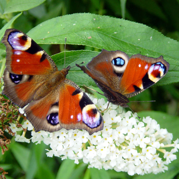 two peacock butterflies on white lilac