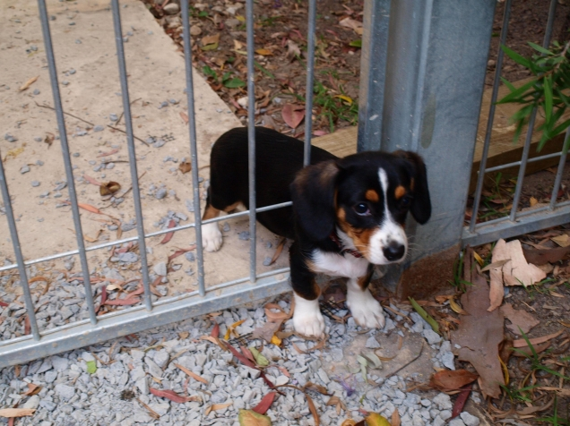 puppy dog stuck in the fence