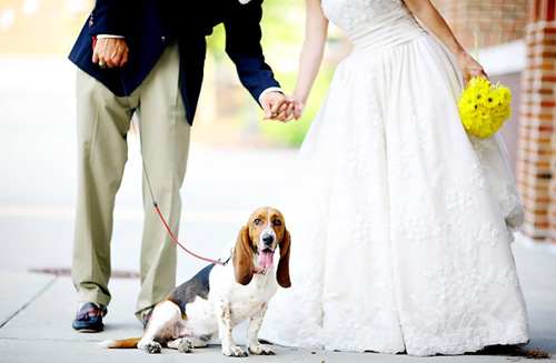 bassett hound in wedding