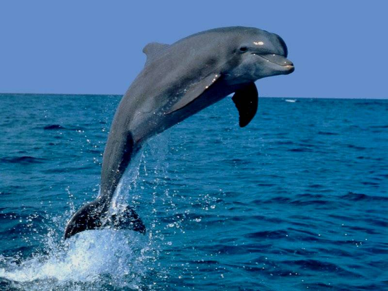 dolphin jumps out water
