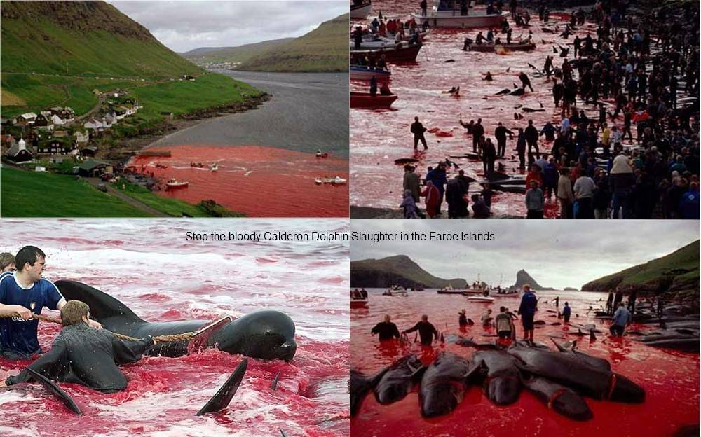 stop the bloody calderon dolphin slaughter in the faroe islands