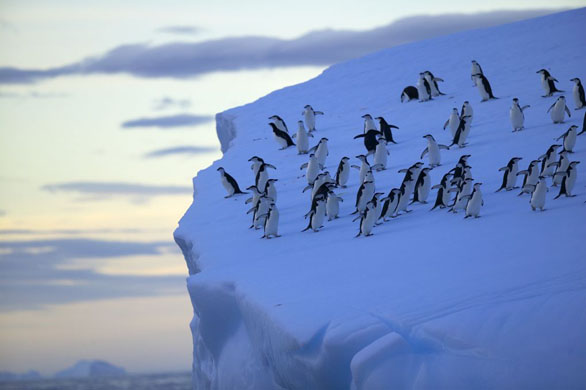 penguins on the edge of ice rock