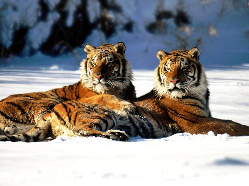 two tigers in snow